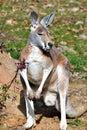 Animal - Kangaroo Royalty Free Stock Photo