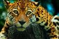 Animal: Leopard
