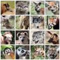 Animal mammals collage animals with myn mammal portraits potamochoerus otter wallaby maned and grey wolf capybara elephant red Royalty Free Stock Photography