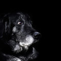 Animal old dog labrador retriever macro shot Royalty Free Stock Image