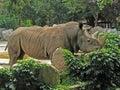 Animal Park - White rhinoceros Royalty Free Stock Photo