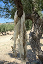 Animal pelt hanging on the tree to dry samothrace island north greece Stock Images