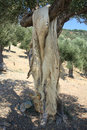 Animal pelt hanging on the tree to dry samothrace island north greece Stock Photo