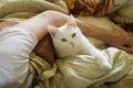 Animal pet cat white bed bedding hand mans hand hug serious bodyguard kitten portrait yellow eyes Royalty Free Stock Images