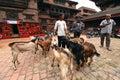Animal sacrifice in nepal kathmandu oct people of kathmandu preparing the goats for the for god durga durbar square during the Royalty Free Stock Image
