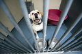 Animal shelter homeless dog behind bars in an Royalty Free Stock Photo