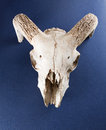 Animal skull Royalty Free Stock Photo