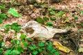 Animal Skull In The Woods
