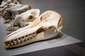 Animal skulls on display in a museum some of these are prehistoric and are displayed from smallest to largest Royalty Free Stock Image