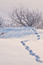 Animal tracks in the snow bush and Royalty Free Stock Image