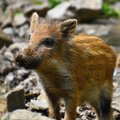 Animal - wild boar in the wild. Young bear playing in nature-forest. Sus scrofa Royalty Free Stock Photo