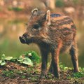 Animal - wild boar in the wild. Young bears playing in nature. Sus scrofa Royalty Free Stock Photo