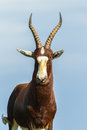 Animal wildlife buck alone cape blesbok late afternoon on waterhole grass bank Stock Image