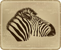 Animal zebra vector illustration vintage Stock Photo