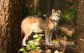 Animale selvatico wolf canine predator alpha di north american timberwolf Immagine Stock Libera da Diritti