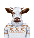Animals as a human. Portrait of Cow in sweater.