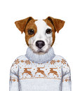Animals as a human. Portrait of Jack Russell in sweater.