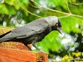 Animals jackdaw corvus monedula on a wooden board Royalty Free Stock Photography