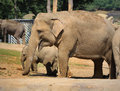 Animals mammals – elephants female cow elephant and her elephant baby searching for food Stock Photos