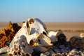 Animals skulls and bones in the sahara dessert Stock Image