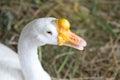 Animals in wildlife goose an hay field Stock Photos