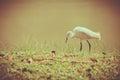 Animals In Wildlife - White Eg...