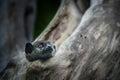 Ankarana sportive lemur small lepilemur ankaranensis hiding in a tree national park madagascar africa Royalty Free Stock Photo