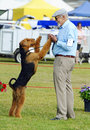 ANKC Pro show dog handler exhibitor having fun with his Airedale Terrier in show ring Royalty Free Stock Photo