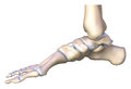 The ankle bone