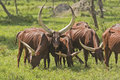 Ankole Watusi Cattle in the Plains Royalty Free Stock Photo
