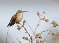 Anna s hummingbird calypte anna an adorable little female sitting in a bush during spring Stock Photos