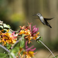 Anna s hummingbird calypte anna feed on nectar from flowers using a long extendable tongue and will consume small insects caught Stock Photos