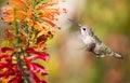Anna s hummingbird calypte anna santa cruz ca hovers over colorful flowers Stock Images