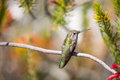 Anna s hummingbird calypte anna santa cruz ca hovers over colorful flowers Stock Photography