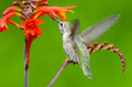 Anna s hummingbird feeding on crocosmia flowers in flight Stock Images