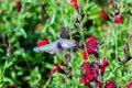 Anna`s Hummingbird in flight, feeding on red flowers. Green plants in background. Royalty Free Stock Photo