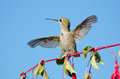 Anna s hummingbird playing on hardy fuchsia flowers rufous in flight and displaying Royalty Free Stock Image