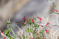 Anna s hummingbird small calypte feeding on desert flowers in southern california Stock Photos