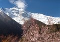 Annapurna ii with flowering apricot tree front summit of from upper pisang village springtime in circuit trekking trail Royalty Free Stock Image