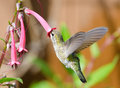 Annas hummingbird feeding on cape fuchsia flower in flight Royalty Free Stock Photos