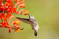 Annas hummingbird feeding on crocosmia flowers in flight Royalty Free Stock Images