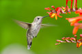 Annas hummingbird feeding on crocosmia flowers in flight Royalty Free Stock Photos
