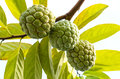 Annona squamosa sugar apple tropical fruit Stock Photos