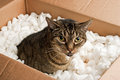 Annoyed cat box in cardboard of packing peanuts Royalty Free Stock Photo