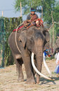 The Annual Elephant Roundup in Surin, Thailand Stock Photo