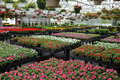 Annual flowers for sale in greenhouse display of hanging baskets and flats of at garden center Royalty Free Stock Photo