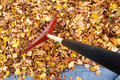 Annual garden chore raking fallen leaves onto a tarp for easier disposal Royalty Free Stock Images
