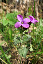 Annual honesty lunaria annula in the meadow Stock Photos