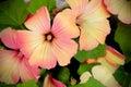 Annual mallow (Lavatera trimestris) beautiful flowers background Royalty Free Stock Photo
