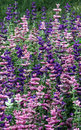 Annual Salvia Viridis Stock Photos